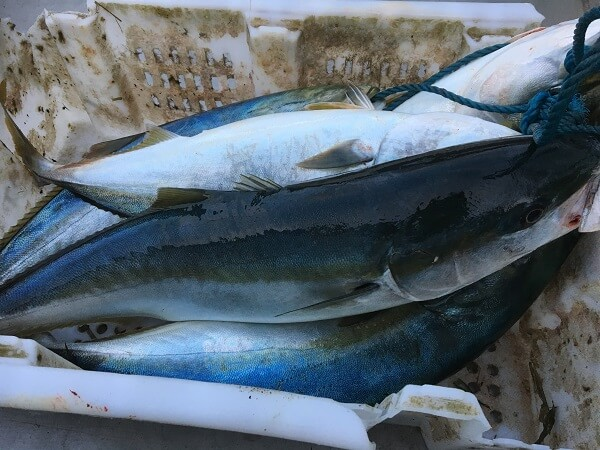 汐首漁港のブリ