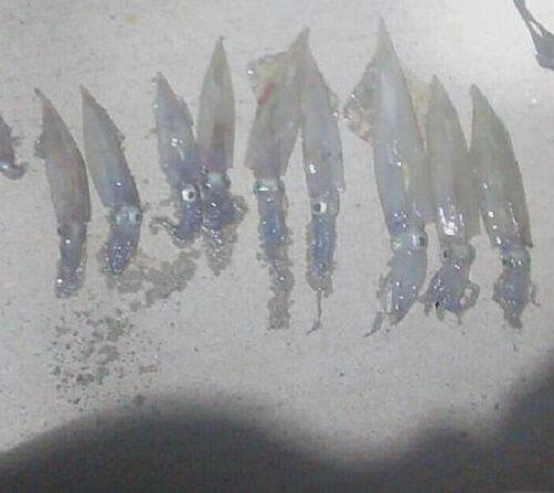 エギングの楽しみ方もできる、テーラーとウキを使って探るヤリイカ釣り。