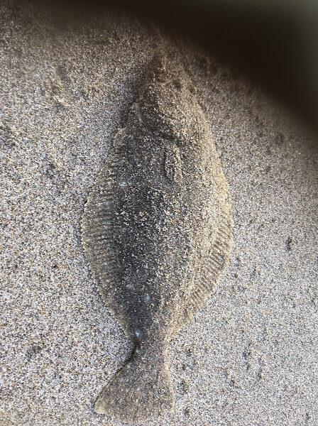 湯の川ヒラメ