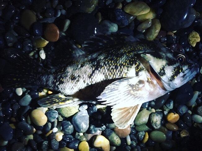 2,018年の道南ヒラメ狙い終漁します!ロックフィッシュの時期がやってきました。