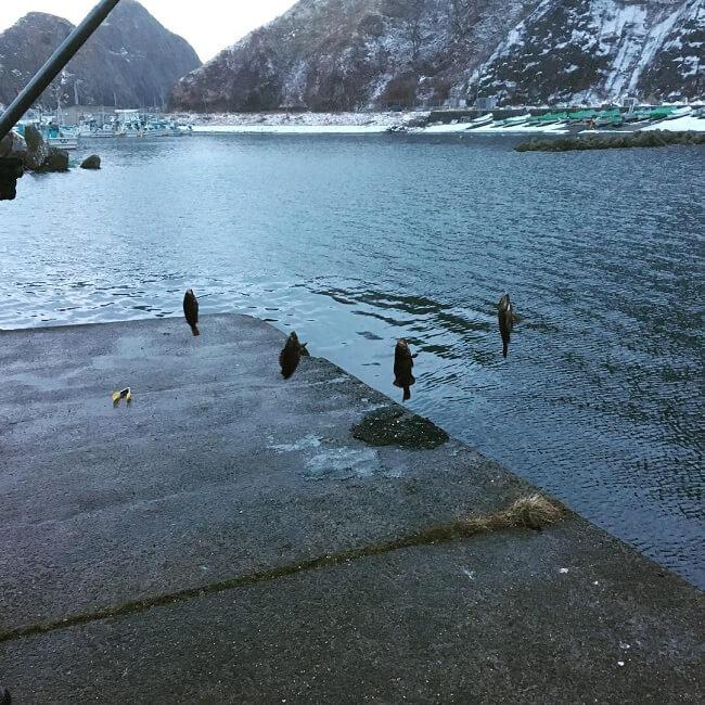チカよりガヤ(エゾメバル)の方が多い日浦漁港でサビキったら釣りにならんかった。