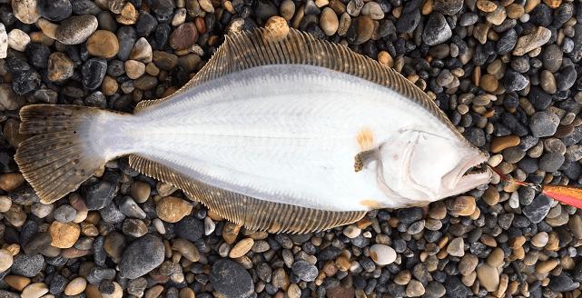 ダイソーカスタムで釣ったソゲ
