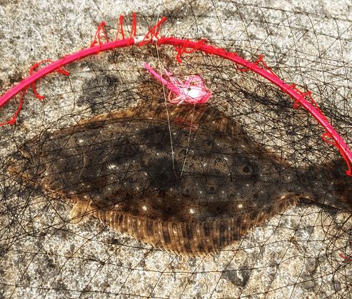 日本海のヒラメ