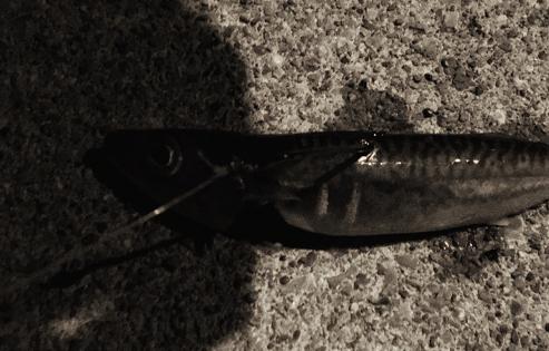 サバの泳がせ釣り