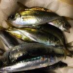 函館9月の夜釣りはアジング!避けようもないフグを爆釣させながら黄金アジを狙う