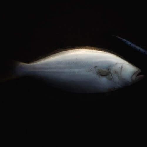 サスケレッパでヒラメ