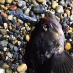 函館の釣りはクサフグとの戦い!煮つけと刺身用の食材確保のためのフィッシング