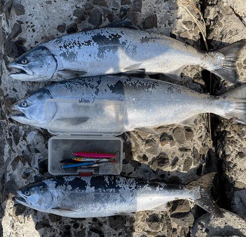 函館サーフで釣れた海サクラマス